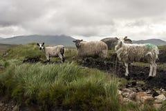 Овцы в графстве Голуэй Стоковое Изображение RF
