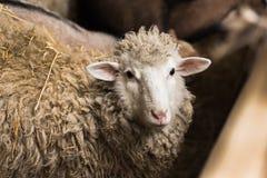 Овцы в деревне стоковое фото