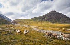 Овцы в долине горы стоковые изображения