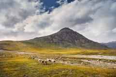 Овцы в долине горы стоковые фото