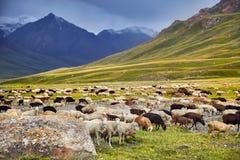 Овцы в долине горы стоковое фото rf