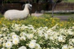 Овцы в желтых и белых цветках Стоковая Фотография