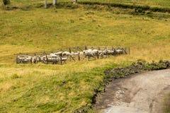 Овцы в загоне Стоковое Изображение RF
