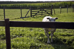 Овцы в злаковике в Schalkwijk Стоковые Изображения RF