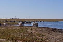 Овцы в злаковике Стоковые Фото