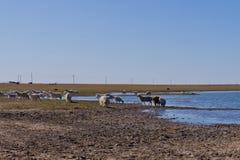 Овцы в злаковике Стоковая Фотография
