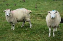 2 овцы в Ирландии стоковая фотография
