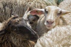 Овцы в конце вверх Стоковые Изображения RF