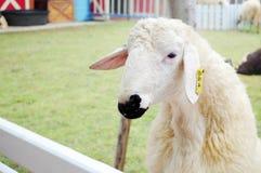 Овцы в конюшне стоковые фото