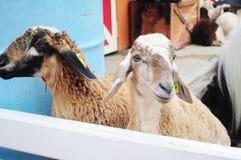 Овцы в конюшне стоковое изображение rf