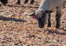 Овцы в красочном выгоне есть луки Стоковая Фотография