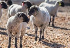 Овцы в красочном выгоне есть луки Стоковая Фотография RF