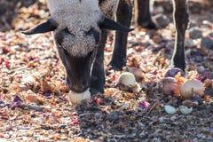Овцы в красочном выгоне есть луки Стоковое фото RF