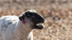 Овцы в красочном выгоне есть луки Стоковые Изображения RF