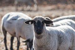 Овцы в красочном выгоне есть луки Стоковые Фото