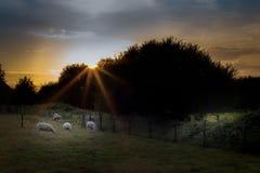 Овцы в лужке Стоковое Изображение RF