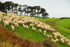 Овцы в Новой Зеландии Стоковая Фотография