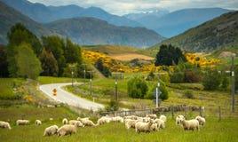 Овцы в Новой Зеландии. Стоковое фото RF