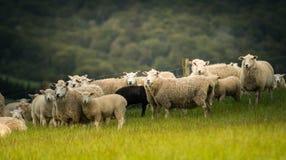 Овцы в Новой Зеландии Стоковые Фото