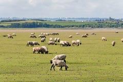 Овцы в Нормандии стоковая фотография