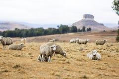 Овцы в освободившееся государство Стоковая Фотография