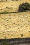 Овцы в открытой земле Стоковое фото RF