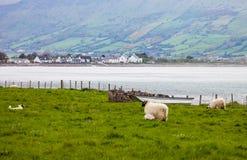 Овцы вдоль ирландской сельской местности Стоковые Изображения RF
