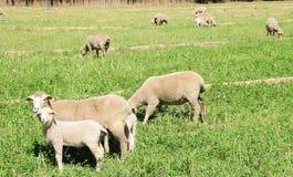 Овцы в пастбище Стоковые Изображения RF