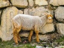 Овцы в Перу - Латинская Америка Стоковые Фото
