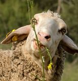 Овцы в поле есть траву и цветок стоковые изображения rf