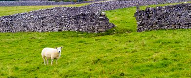 Овцы в поле Стоковая Фотография RF