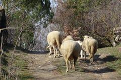 Овцы в поле от Каталонии, Испании Стоковая Фотография RF