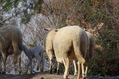 Овцы в поле от Каталонии, Испании Стоковое Изображение