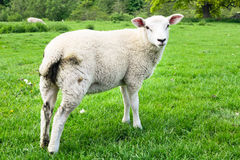 Овцы в поле Стоковые Изображения RF