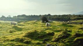 Овцы в поле стоковое изображение rf