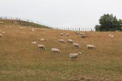 Овцы в поле Стоковые Изображения