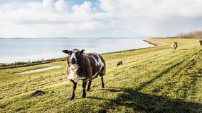 Овцы в подсвеченном на dike в зиме Стоковое Изображение