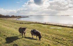 Овцы в подсвеченном на dike в зиме Стоковые Изображения
