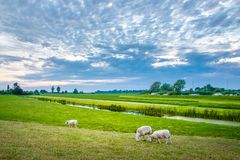 Овцы в природе на луге Обрабатывать землю внешний, Голландия стоковые фото