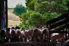 Овцы в режа ручках Стоковая Фотография RF