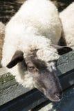 Овцы в ручках Стоковые Изображения