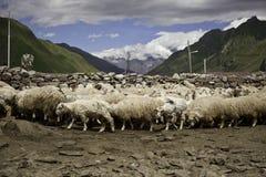 Овцы в ручке Стоковая Фотография RF