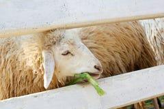 Овцы в стойле есть еду Стоковые Фотографии RF