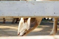 Овцы в стойле Стоковые Фотографии RF
