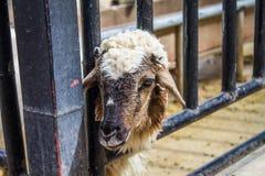 Овцы в стойле Стоковые Изображения RF