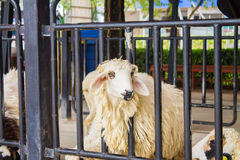 Овцы в стойле Стоковая Фотография RF