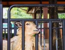 Овцы в стойле Стоковое фото RF