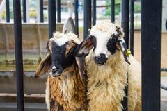 Овцы в стойле Стоковое Фото