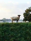 Овцы в траве с рекой на заднем плане Стоковые Изображения