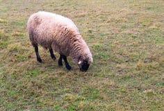 Овцы в тумане рано утром на выгоне Стоковое фото RF